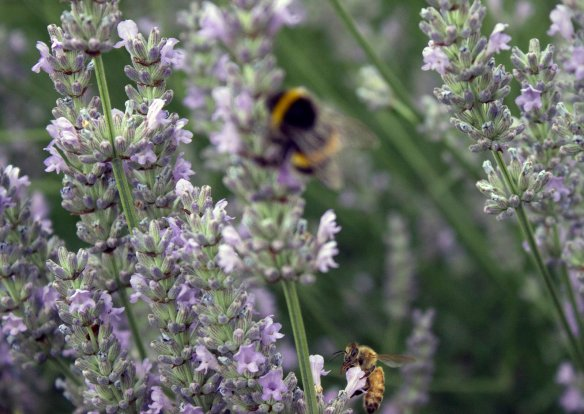 bumble and honeybee on lavender