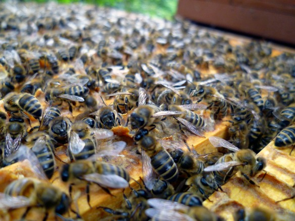 Our ladies were too busy sticking propolis on frames to notice we had opened the hive