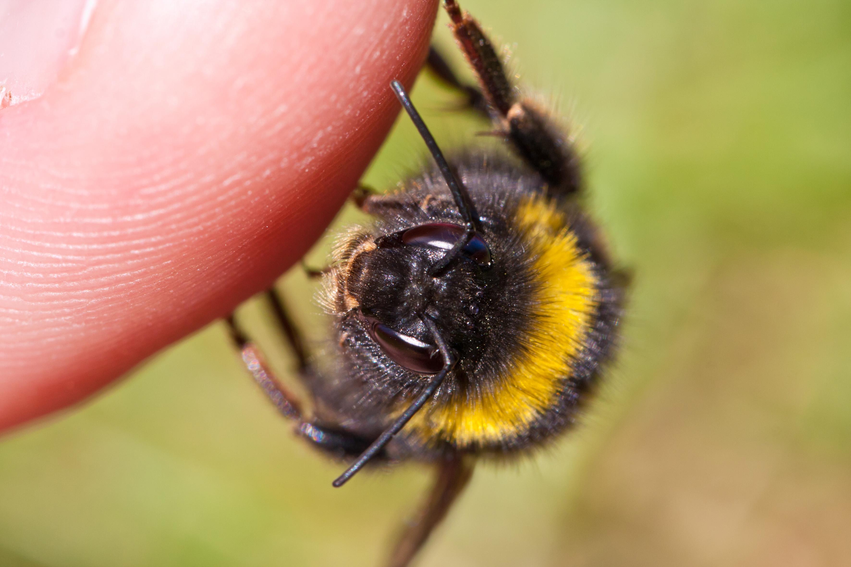 bumble bee | Mrs Apis Mellifera