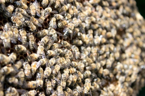 Grumpy bees – last week the drones in the top box of our combined hive were not too happy!
