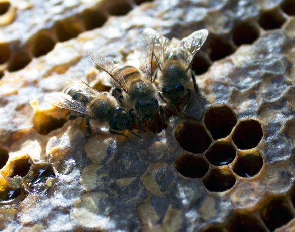 Bees are forest insects with an instinctive fear of fire. Smoking the entrance makes the colony think there is an impending risk of fire and triggers the 'fight or flight' response. They eat up honey in preparation to leave the hive but this also makes them less inclined to sting.