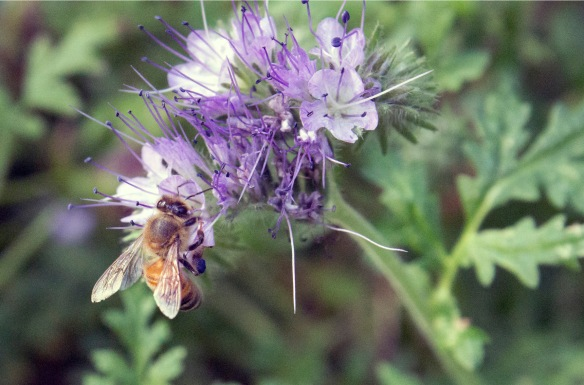 A honeybee easily wins the Bee Games for flowers visited per foraging flight.