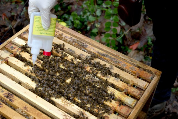 giving bees oxalic acid