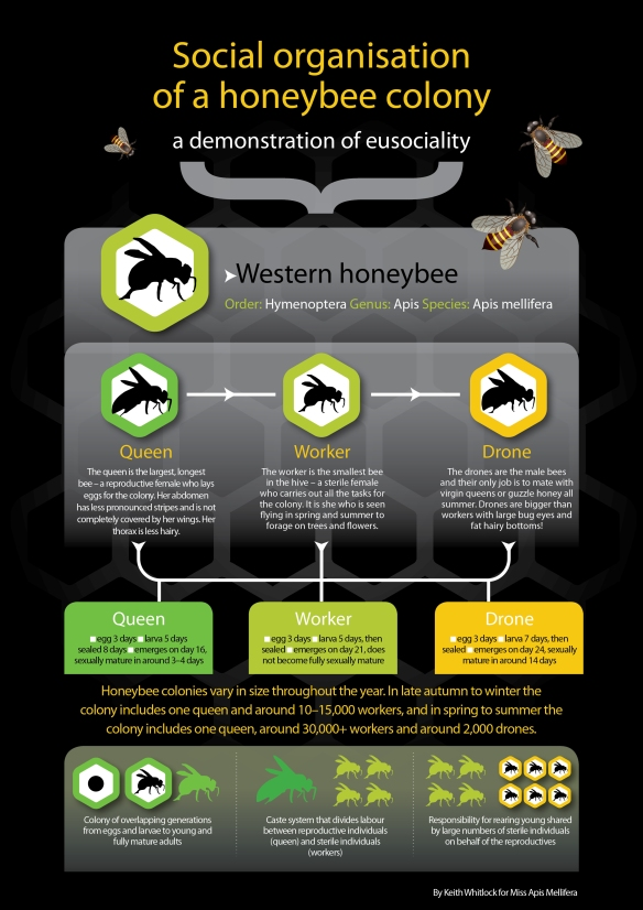 Mod 6.5 infographic eusociality