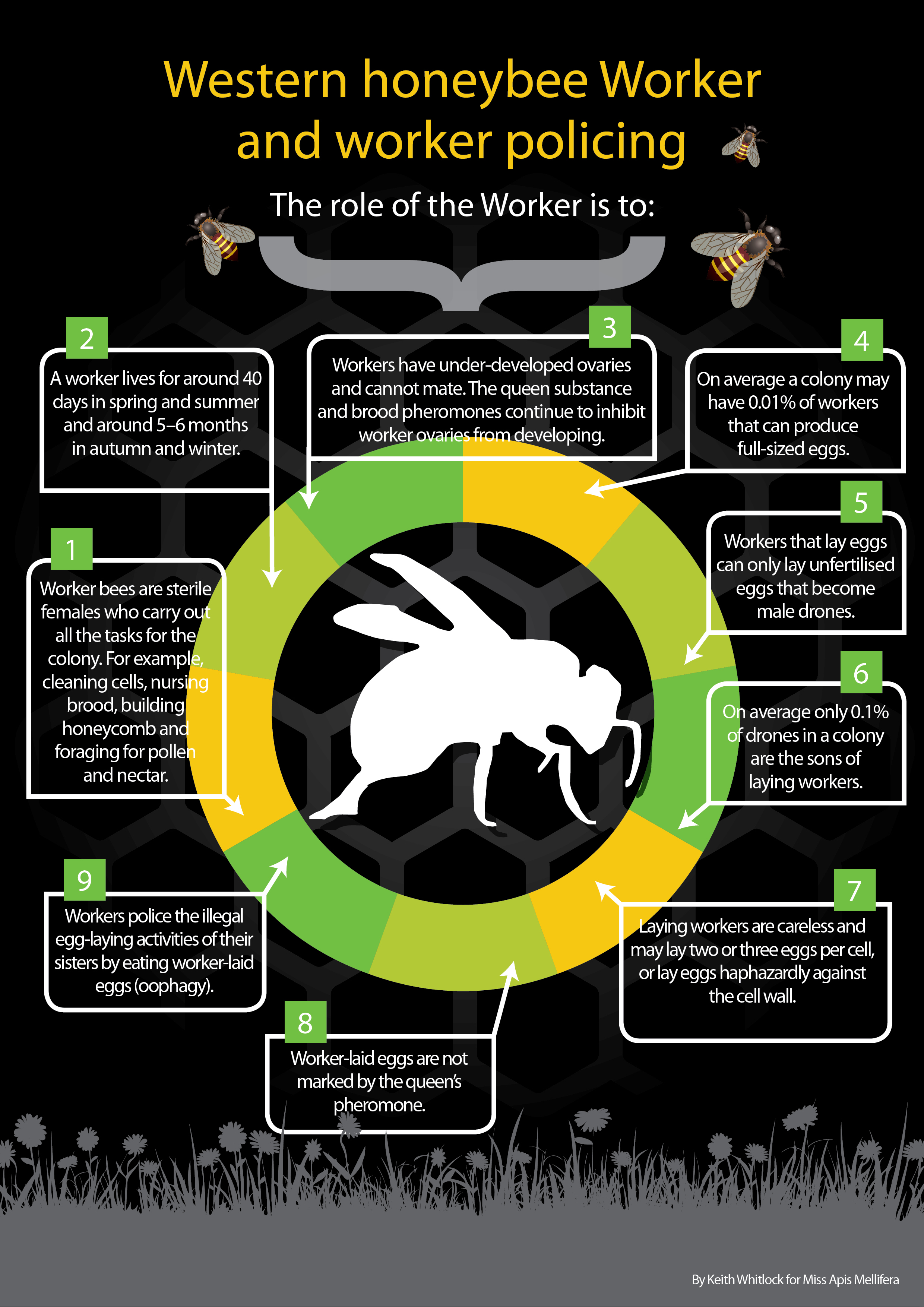 what do drone bees with Infographics on Honey b Hive Clipart furthermore Stock Images Beehive Image6080474 also Tracking The Life Cycle Of A Honey Bee additionally Tourists In Terror As Angry African Elephant Charges Their Car In Namibia 2662 as well A bee landed on my car with a full load of pollen.