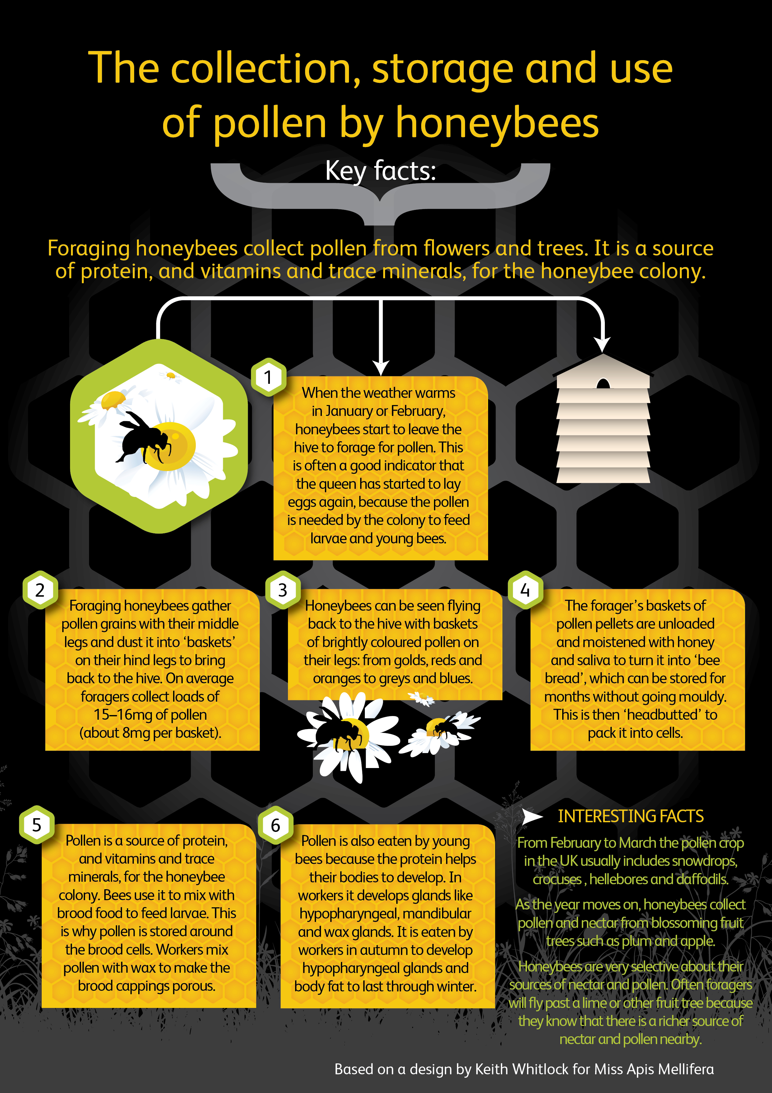 how honeybees are very useful to humans Bees are very useful insects many crops depend on bees for fertilization learn more about bees with the free bee printables.