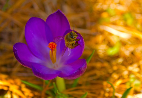 purple crocus bee