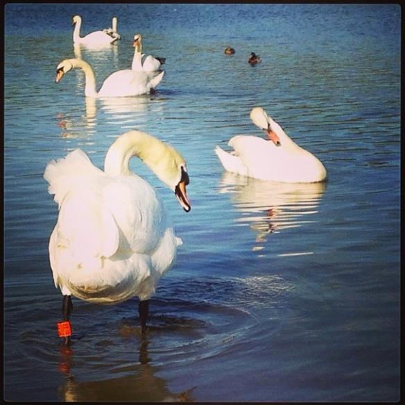 17 swans