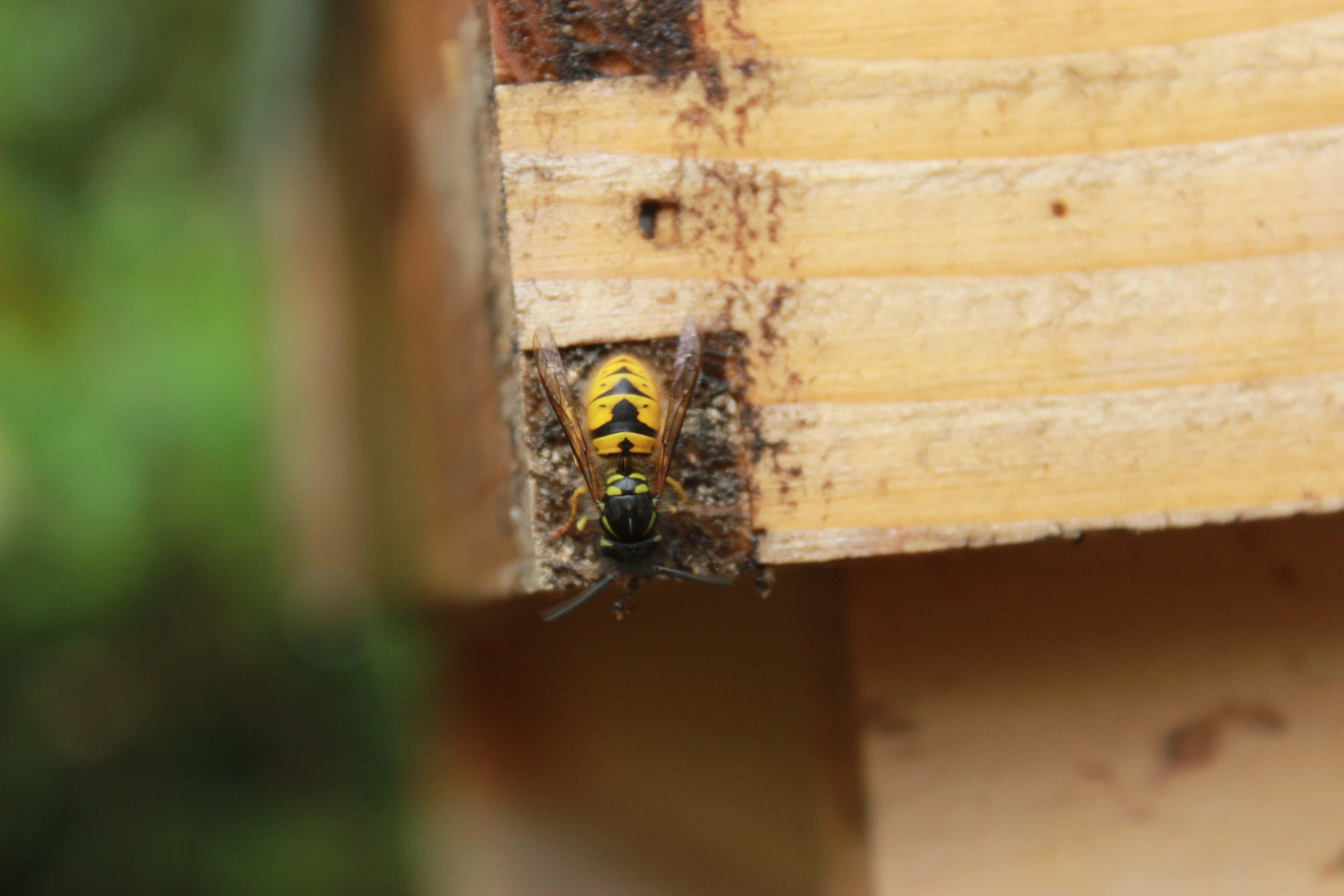 Honeybee Mrs Apis Mellifera