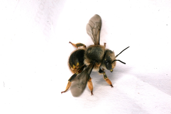 Bee Anthophora RCP06-07 089