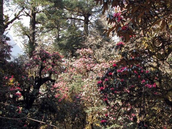 Manaslu-Circuit_Rhododendron_Forest