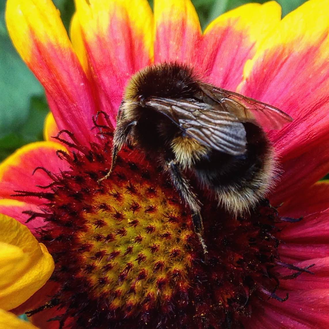 Bumble bees   Mrs Apis Mellifera