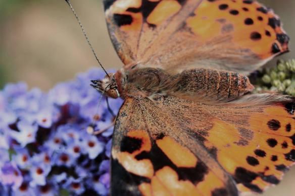 butterfly-flight